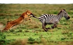 cebra leónimages