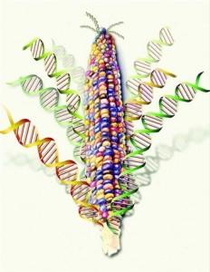 Genética del maíz