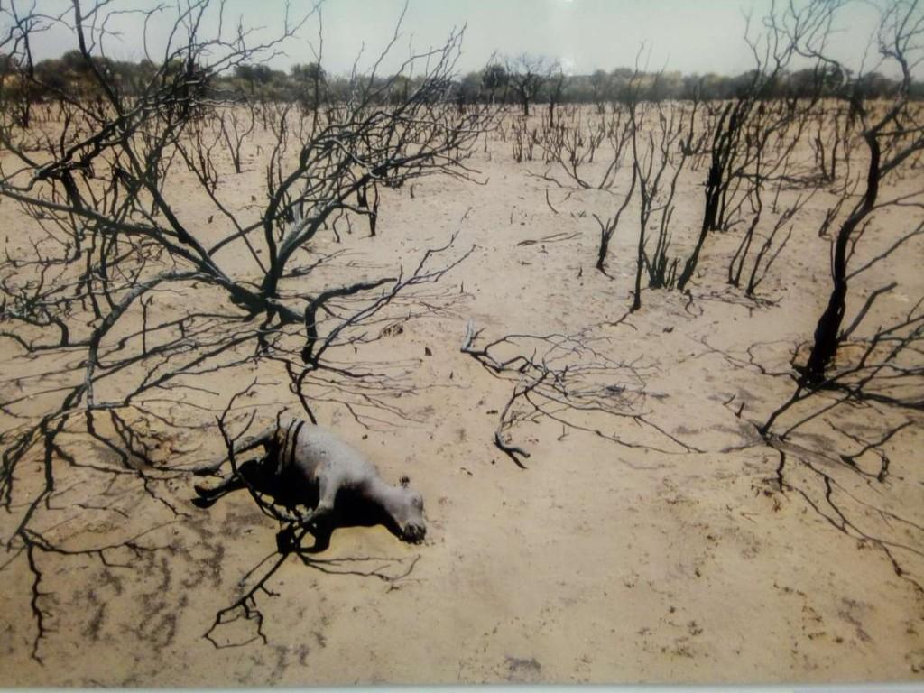 Luna Maximiliano. La Pampa 7 de Enero, de 2017. Ternero alcanzado por el fuego que arrasó cientos de campos en la Provincia de La Pampa
