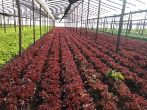 Plantaciones UTT