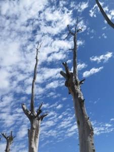 majestuosos, árboles y cielo. Patricia C. Bonjour